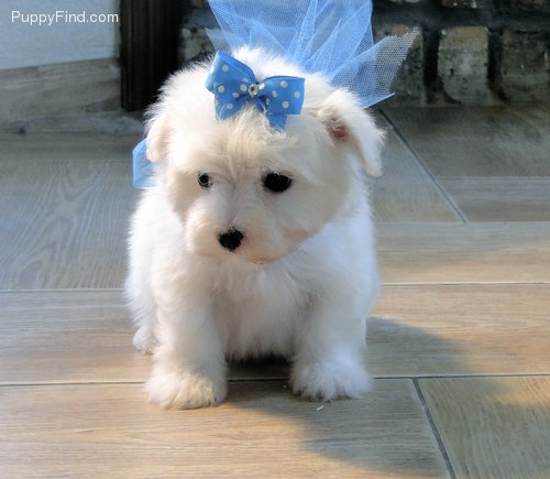 Pure White Maltese Puppies For Sale. - Dogs