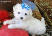 Pure White Maltese Puppies For Sale.