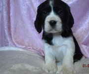 Beautiful English Springer Spaniel puppies for sale