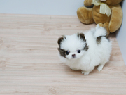 GHC Stunning XXS size tiny uncomplicated,  gentle,  Pomeranian For Sale