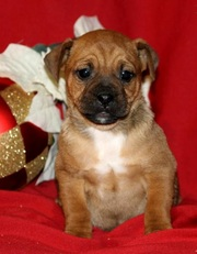 Jack Russel Mix Puppy for Sale