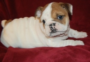Cute and lovely English Bulldog Puppies For Sale