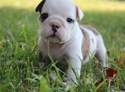 Wrinkled And Spoiled, (Red/Fawn And White) Little English Bulldog Pups.